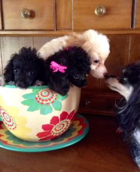 Skypetsnpoodles Teacup Poodles And Tiny Toy Poodles For Sale